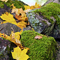 Mossy Stones And Maple Leaves by Jarmo Honkanen