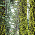 Mossy Trees by Ruta Swanson