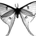 Moth by Amanda Barcon