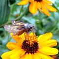Moth  by D R TeesT
