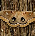 Moth On Cedar Tree by Bob Guthridge