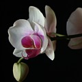 Moth Orchid 1 by Marna Edwards Flavell