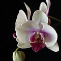Moth Orchid 2 by Marna Edwards Flavell