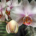 Moth Orchid by C H Apperson