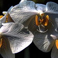 Moth Orchids by David Patterson