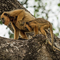 Mother And Baby Black Howler Monkeys Climbing by Ndp