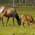 Mother Elk And Fawn by Denise McAllister
