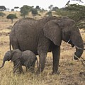Mother And Baby Elephant by Keith Levit