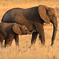Mother And Baby Elephants by Adam Romanowicz