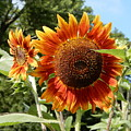Mother And Daughter Sunflowers by Tina M Wenger