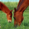 Mother And Foal 3377 H_2 by Steven Ward