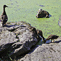 Mother And Her Ducklings by Madeline Ellis