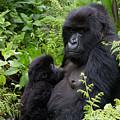 Mother And Suckling Baby Gorillas by Milton Cogheil