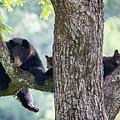 Mother Bear And Cubs by Benjamin King
