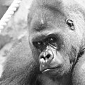 Mother Gorilla In Thought by Jennifer Craft