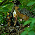 Mother Robin And Her Young by Michael Barry