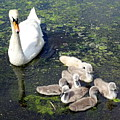 Mother Swan And Baby Cygnets by Ed Weidman