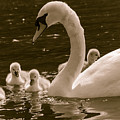 Mother Swan by F Helm