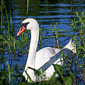Mother Swan by Janet Argenta