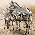 Mother Zebra Nursing Baby by Paula Porterfield-Izzo
