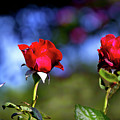 Mother's Day Roses Blank by Mark Andrew Thomas