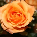 Mothers  Day Rose by Tiffany Vest