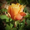 Mother's Rose by KaFra Art