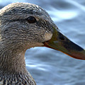 Mottled Duck Big Spring Park Crop by Lesa Fine