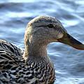 Mottled Duck Big Spring Park by Lesa Fine