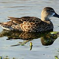 Mottled Duck by Randy Matthews
