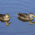 Mottled Ducks, South Padre Island, Texas by TN Fairey