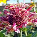Mottled Pink Cone Flower by Robert Meyers-Lussier