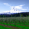 Mount Hood Behind Orchard Blossoms by Jeff Swan