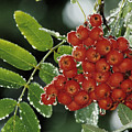 Mountain Ash Berries In Rain by Steve Somerville