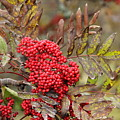Mountain Ash With Berries by Allen Nice-Webb