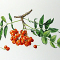 Mountain Ash With Berries  by Margit Sampogna