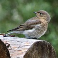 Mountain Bluebird by Heather Tierney