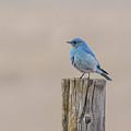 Mountain Bluebird by Jonathan Samson