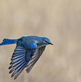 Mountain Bluebird Male In Flight by Dawn Key