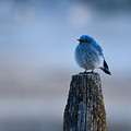 Mountain Bluebird by Whispering Peaks Photography