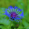 Mountain Cornflower by Byron Varvarigos