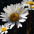 Mountain Daisy by Larry Keahey