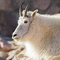 Mountain Goat Billy Basks In The Morning Sun by Tony Hake