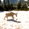 Mountain Goat Crossing A Snow Patch by Jeff Swan