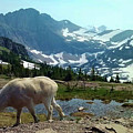 Mountain Goat by Eric Fellegy