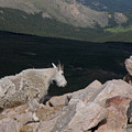 Mountain Goat by George Tuffy