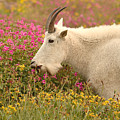 Mountain Goat In Colorful Field Of Flowers by Max Allen