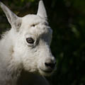 Mountain Goat Kid Portrait by Rikk Flohr
