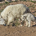 Mountain Goat Kid Stretches By Mom by Tony Hake