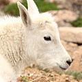 Mountain Goat Kid With Peaceful Gaze by Max Allen